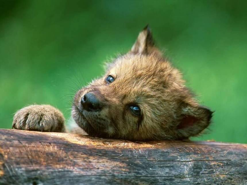 Wolf_puppy_near_den_Canada-1024x768